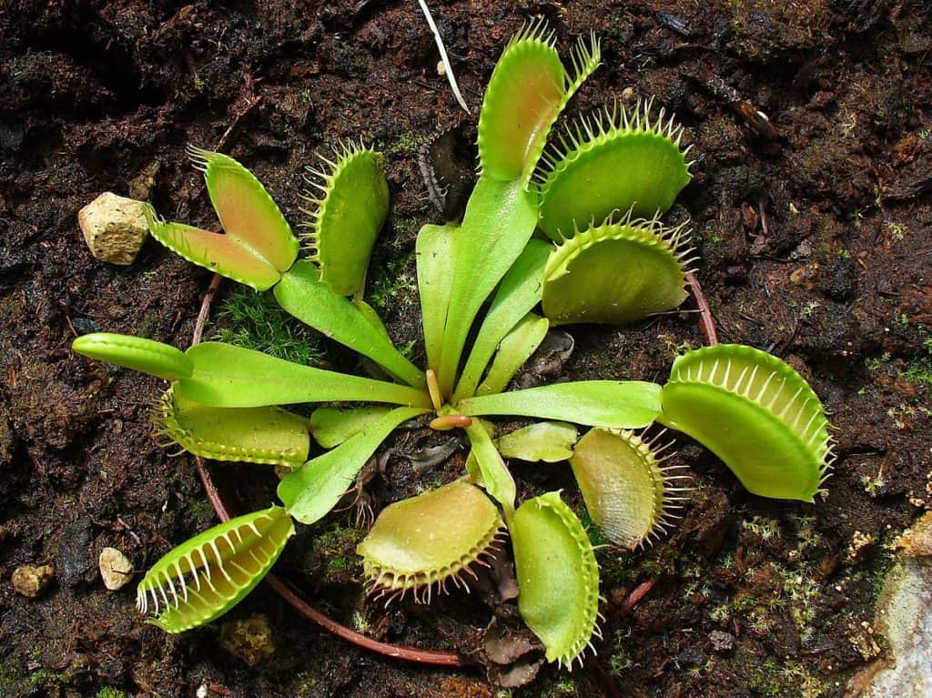 How Long Does It Take Venus Flytrap To Grow Carnivorous Plants Hub